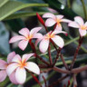 Frangipani_flowers_thumb175