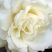 White_rose_thumb175
