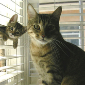 Cat_in_window_blinds_thumb175