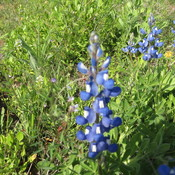 Bluebonnets2010_009_thumb175