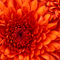 Chrysanthemum_thumb48