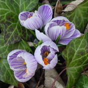 Crocus_4_thumb175