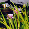 Waterlilies_thumb48