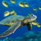 Green_sea_turtle_thumb48