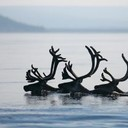 Swimming_deer_thumb128