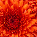 Chrysanthemum_thumb128