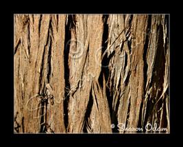 Ms_071_cedar-tree_web_thumb200