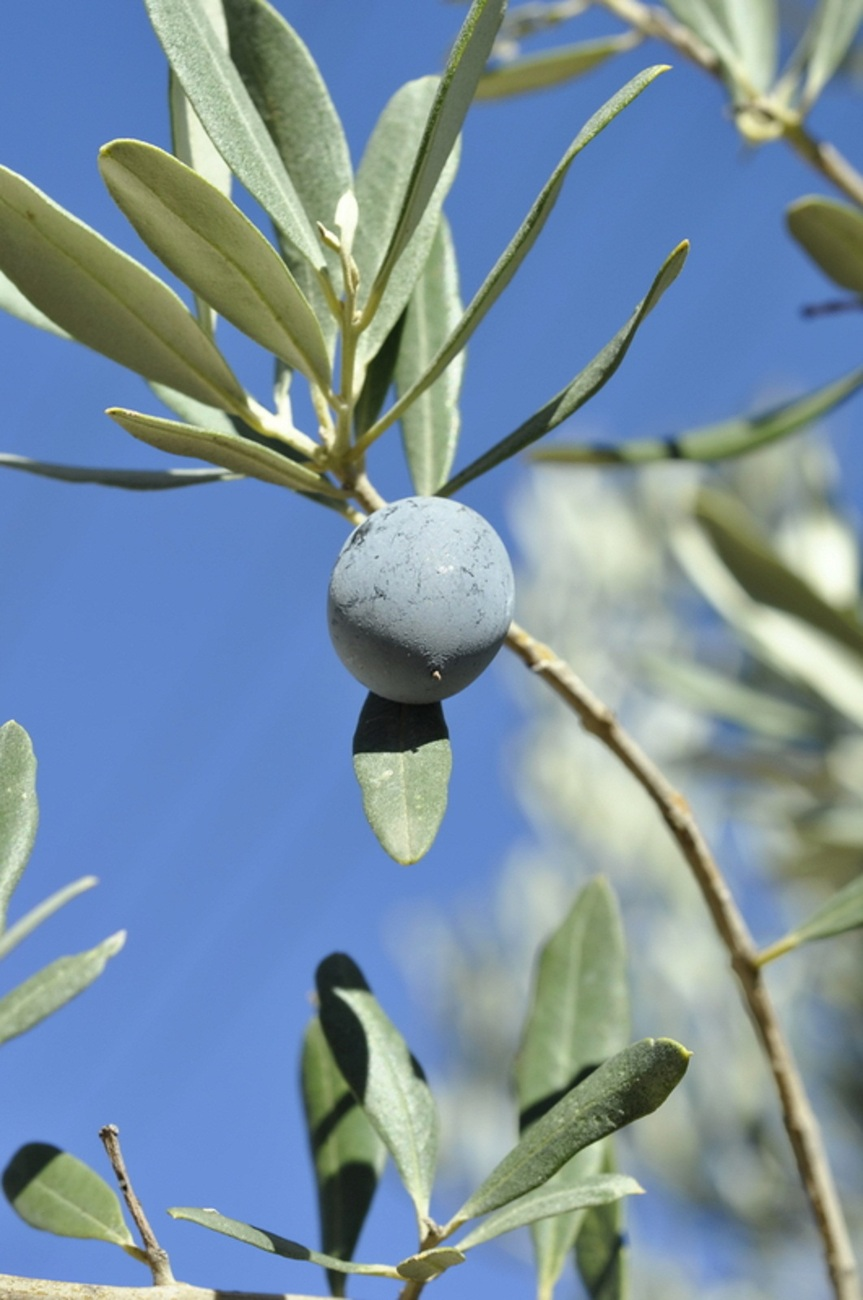 Chemlali olive tree live plant cold hardy fruit tree trees for What to plant under olive trees
