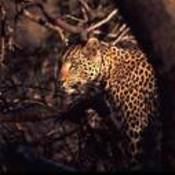 Leopard3_1__thumb175