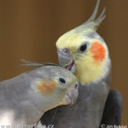 Cockatiel-30498_thumb128