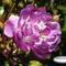 Purplerose1_thumb48