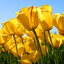 Tulips_thumb128
