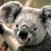 Koala_thumb175