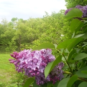 Lilac4_thumb175